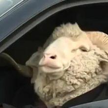 ГИБДД научилась вычислять баранов в машинах